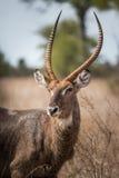 担任主角在克留格尔国家公园,南非的Waterbuck 免版税库存照片