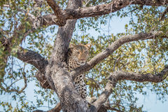 担任主角在树的豹子 库存图片