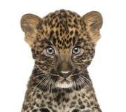 担任主角在照相机的被察觉的豹子崽的特写镜头 免版税图库摄影