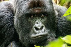 担任主角的大猩猩山地大猩猩 图库摄影