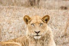 担任主角的狮子 库存图片