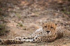 担任主角的猎豹在克留格尔国家公园,南非 库存图片