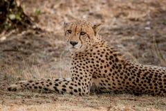 担任主角的猎豹在克留格尔国家公园,南非 库存照片