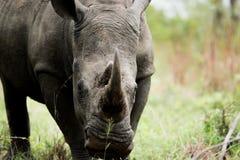 担任主角的白色犀牛在克留格尔国家公园,南非 免版税库存照片