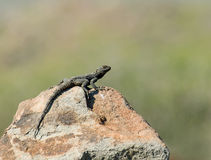 担任主角的蜥蜴蜥蜴 库存图片