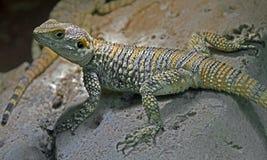 担任主角的蜥蜴2 库存图片