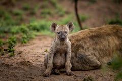 担任主角的被察觉的鬣狗崽在克留格尔国家公园,南非 免版税库存照片