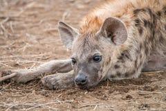担任主角的被察觉的鬣狗崽 图库摄影