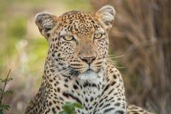 担任主角的豹子 免版税库存照片