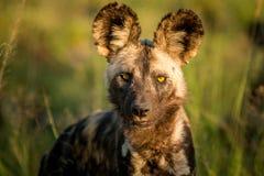 担任主角的非洲豺狗在克留格尔国家公园,南非 库存图片
