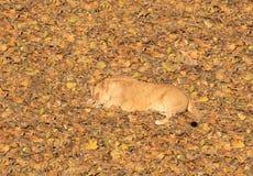 拉丁利奥雌狮名字panthera休眠 库存图片