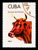 拉丁美洲各国的人猜错primigenius金牛座,牛serie,古巴人品种大约1973年 库存照片