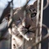 拉丁豹子名字雪uncia 免版税图库摄影