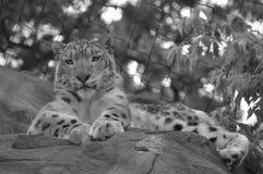 拉丁豹子名字雪uncia 免版税库存照片