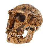 拉人neanderthalensis头骨 La Ferrassie 约会对50,000年前 在1909年发现在La Ferrassie,法国 库存图片