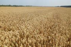 拉伊小尖峰 大麦的耳朵在领域的 麦子的小尖峰在领域纹理农业的 免版税图库摄影