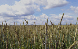拉伊种植种田谷物金蓝色黄色农村植物自然收获玉米粮田麦子agr的燕麦云彩金大麦金黄食物 库存照片