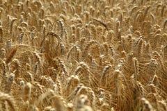 拉伊领域 与美丽的金小尖峰的耕种的植物黑麦 库存图片