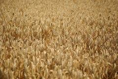 拉伊领域 与美丽的金小尖峰的耕种的植物黑麦 免版税图库摄影