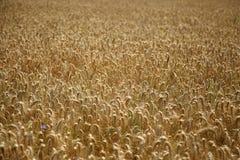 拉伊领域 与美丽的金小尖峰的耕种的植物黑麦 库存照片