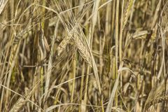 拉伊领域 金黄黑麦关闭的耳朵 美好的自然日落风景 在光亮的阳光下的农村风景 裂口背景  免版税库存图片