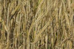 拉伊领域 金黄黑麦关闭的耳朵 免版税库存图片
