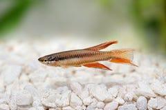 拉各斯红色锵鱼水族馆鱼Killi Aphyosemion bitaeniatum 免版税图库摄影