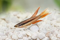 拉各斯红色锵鱼水族馆鱼Killi Aphyosemion bitaeniatum 库存照片