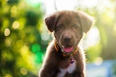 拉布拉多与bokeh光的小狗 免版税库存图片