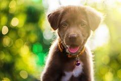 拉布拉多与bokeh光的小狗 库存图片