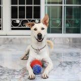 拉布拉多凝视和打球的混合狗 库存图片