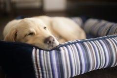 拉布拉多合理地睡觉的小狗 库存图片