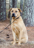 拉布拉多大型猛犬被混合的品种大狗 免版税库存照片