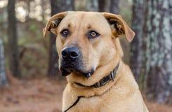 拉布拉多大型猛犬被混合的品种大狗 库存照片