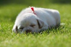 拉布拉多小狗休眠 免版税库存照片