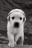 拉布拉多小狗墙纸 库存图片