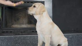 拉布拉多小狗服从地等候所有者的命令 影视素材