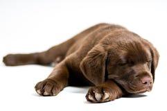 拉布拉多小狗猎犬休眠 免版税库存照片