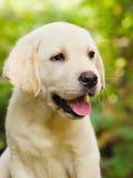 拉布拉多小狗猎犬围场 库存照片