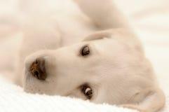 拉布拉多小狗猎犬 图库摄影