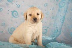 拉布拉多小狗猎犬 免版税库存照片