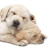 拉布拉多小狗睡觉 免版税库存图片
