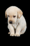 拉布拉多小狗身分和看起来哀伤在演播室 免版税库存图片