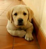 拉布拉多小狗黄色 免版税库存图片