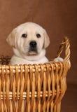 拉布拉多小狗 免版税图库摄影
