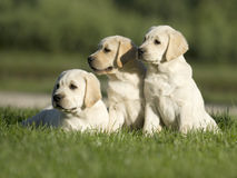 拉布拉多小狗 免版税库存照片