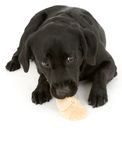 拉布拉多小狗 库存照片