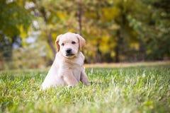 拉布拉多小狗 图库摄影