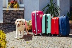 拉布拉多手提箱隔绝了行李行李假期金子多彩多姿的桃红色蓝色准备好假日夏天狗宠物期望 免版税图库摄影