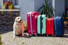 拉布拉多手提箱隔绝了行李行李假期金子多彩多姿的桃红色蓝色准备好假日夏天狗宠物期望 免版税库存照片